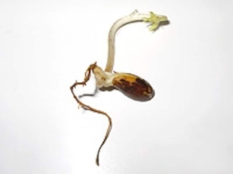 種から発芽したハナモモ