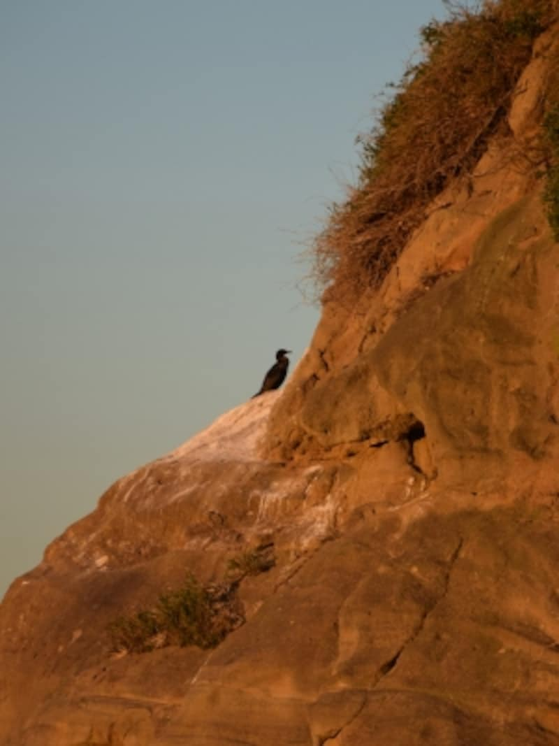 「猿島」は、海鵜(ウミウ)の生息地でもあります