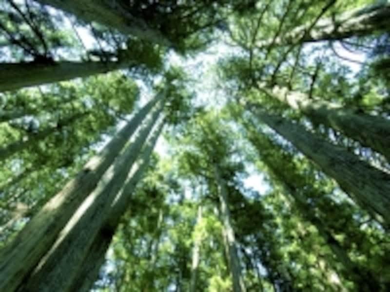 参道の杉木立