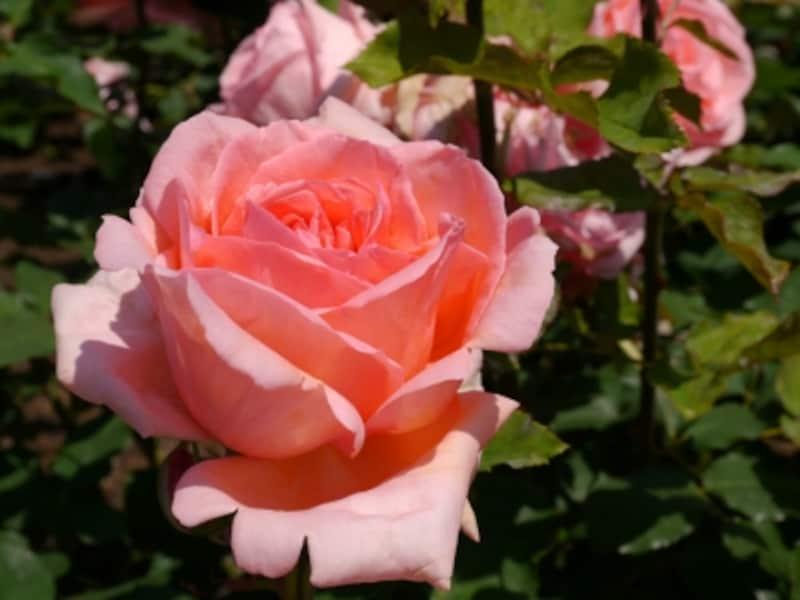 2009年に誕生した新品種・横浜開港150周年記念のバラ「はまみらい」(港の見える丘公園ローズガーデンにて、2014年5月16日撮影)