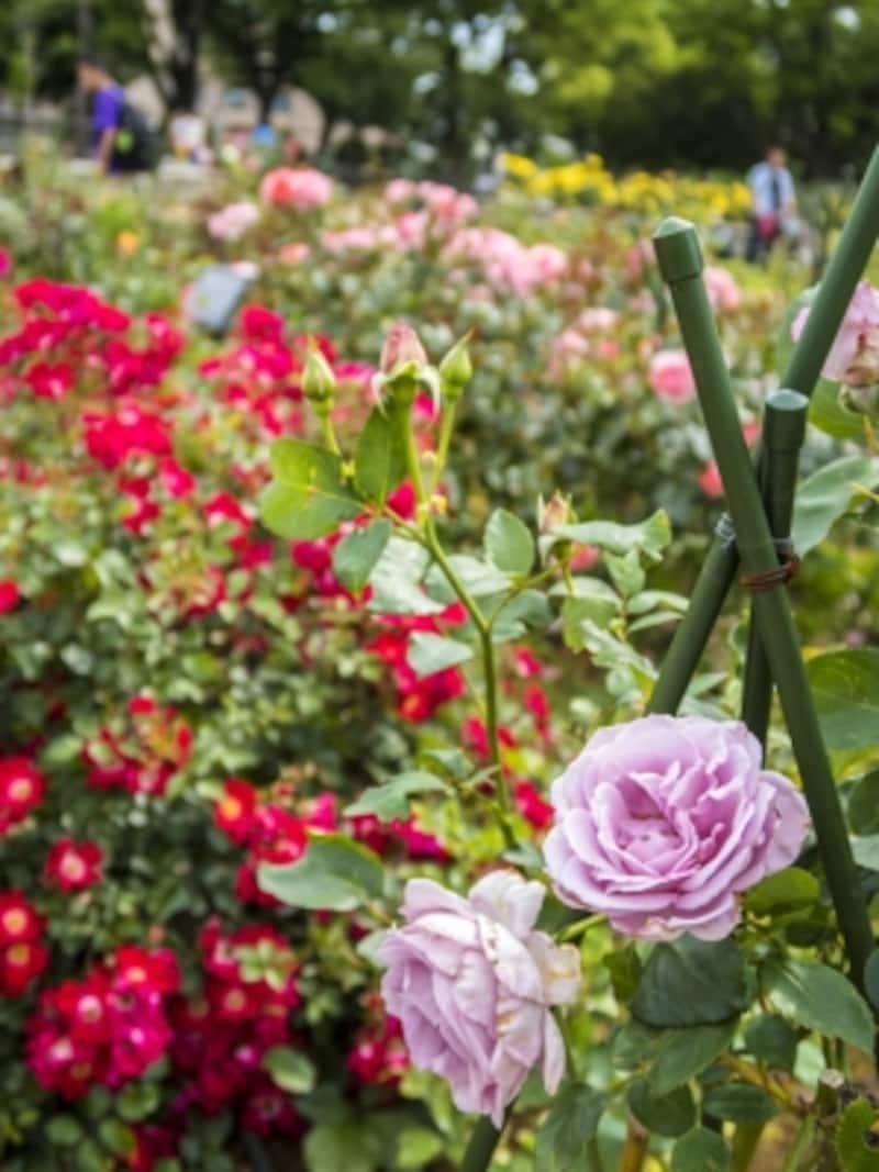56種170株のバラが楽しめます(2015年5月23日撮影)