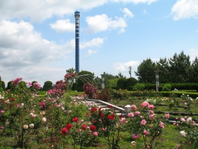 横浜・八景島の中心に位置する「丘の広場」では、約30種500株の色とりどりのバラが楽しめます(画像提供:横浜・八景島シーパラダイス)