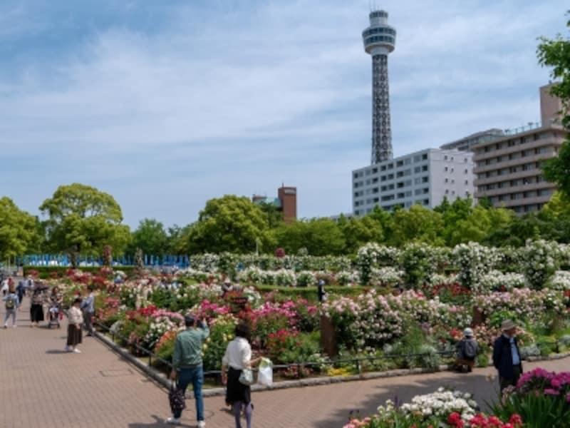 山下公園前の沈床花壇は2016年4月に「未来のローズガーデン」として再整備されました。横浜マリンタワーをバックに(2018年5月11日撮影)