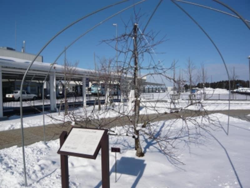 「シナノゴールド」と「フジ」の2種類の林檎の木が植えられています
