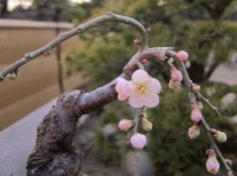 花を咲かせきる体力