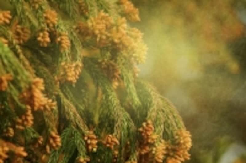 スギ花粉の飛散時期は、2~4月