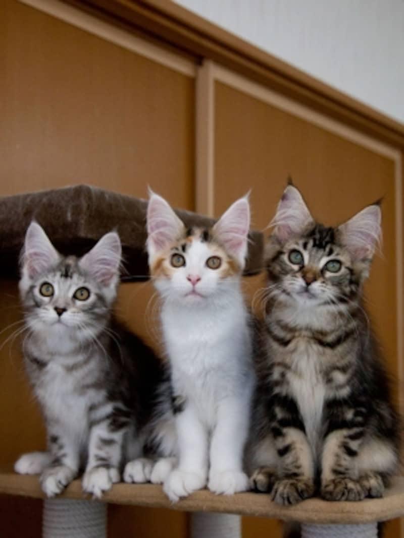 メインクーンの子猫たち