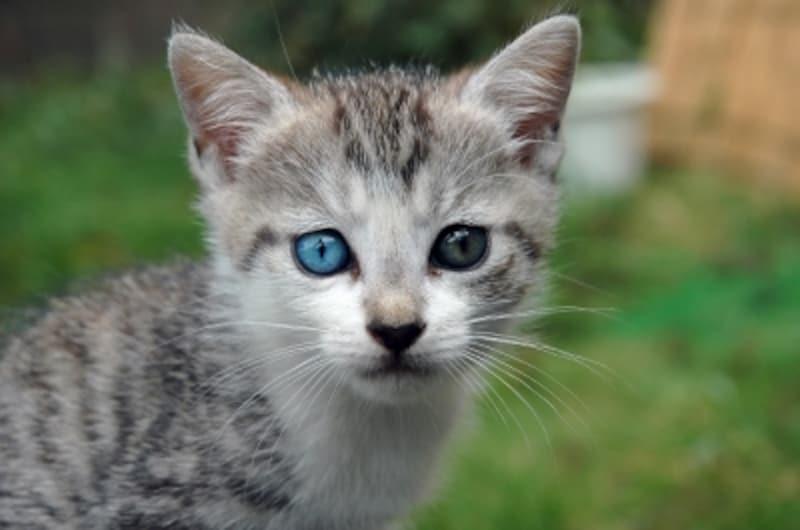 左右で目の色が違うオッドアイのねこ(写真)