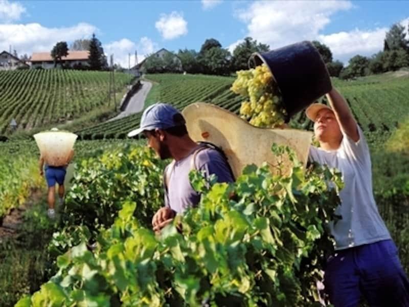 葡萄の収穫