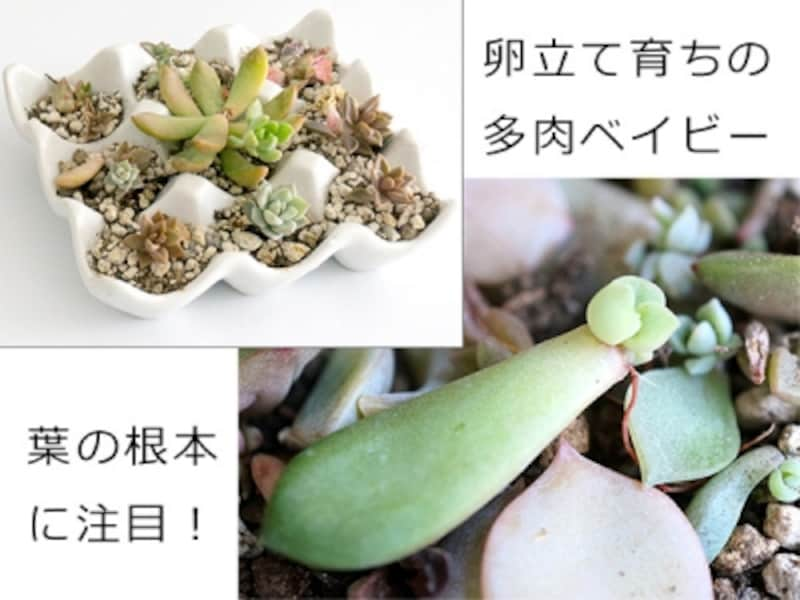 葉っぱから多肉ベイビー誕生!