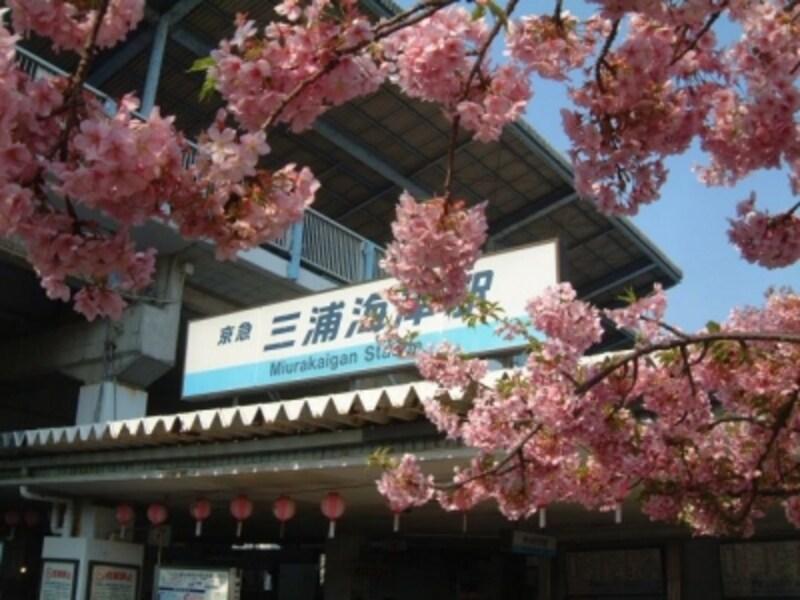 三浦海岸の河津桜(3)/三浦海岸駅前