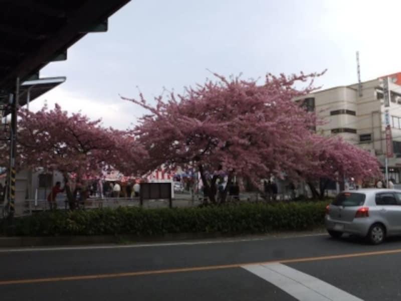 三浦海岸の河津桜(4)/三浦海岸駅前