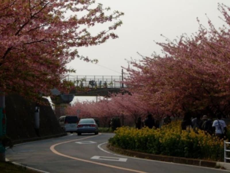 三浦海岸の河津桜(1)