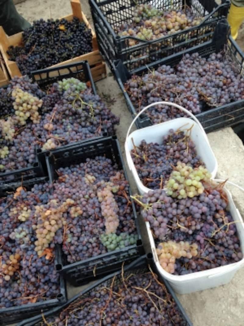 トルコのブドウ