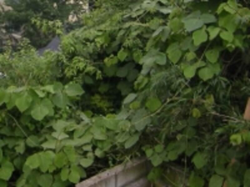手入れをしないと、塀を乗り越えて、雑草が生い茂ってしまうことも(イメージ)