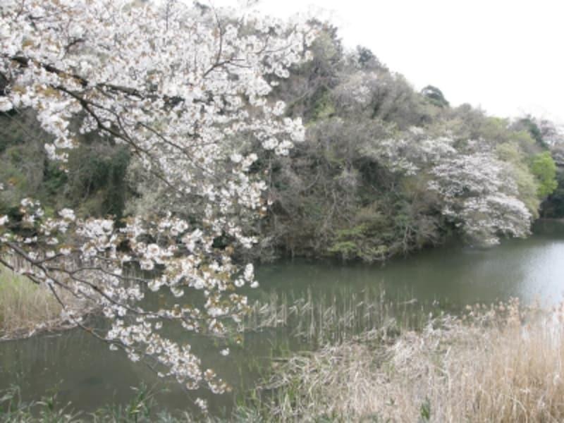 サクラ咲く夫婦池公園