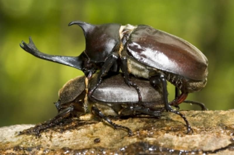 カブトムシの成長過程:まずは交尾
