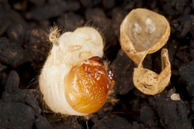 カブトムシの成長過程:孵化