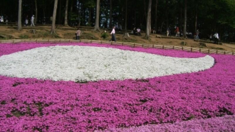 ピンク色と白色の絨毯を敷き詰めたような芝桜の丘