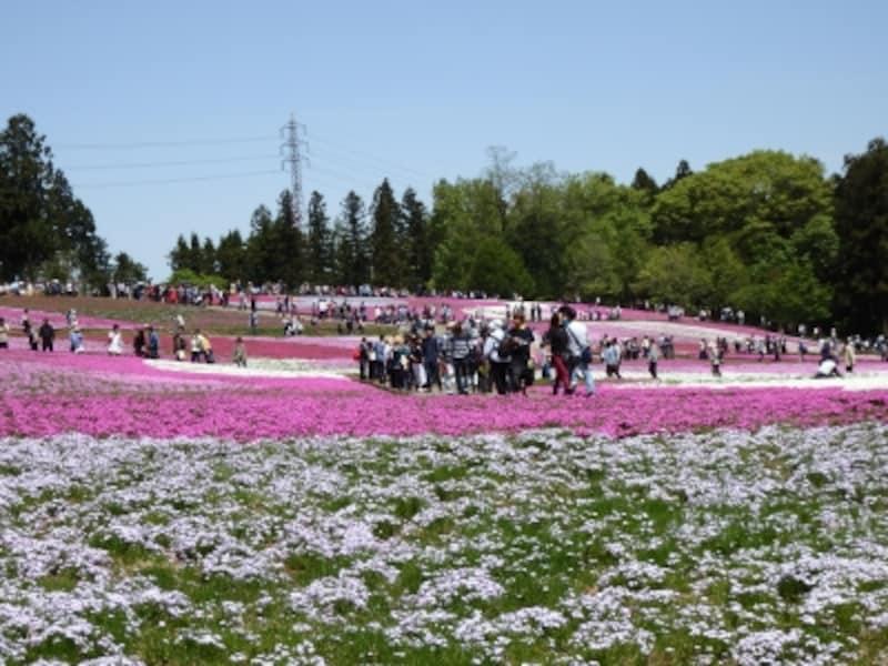 足元に広がる芝桜の絨毯