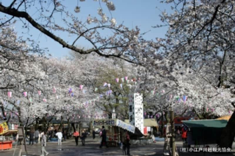 喜多院の桜。たくさんの人で賑わう境内。
