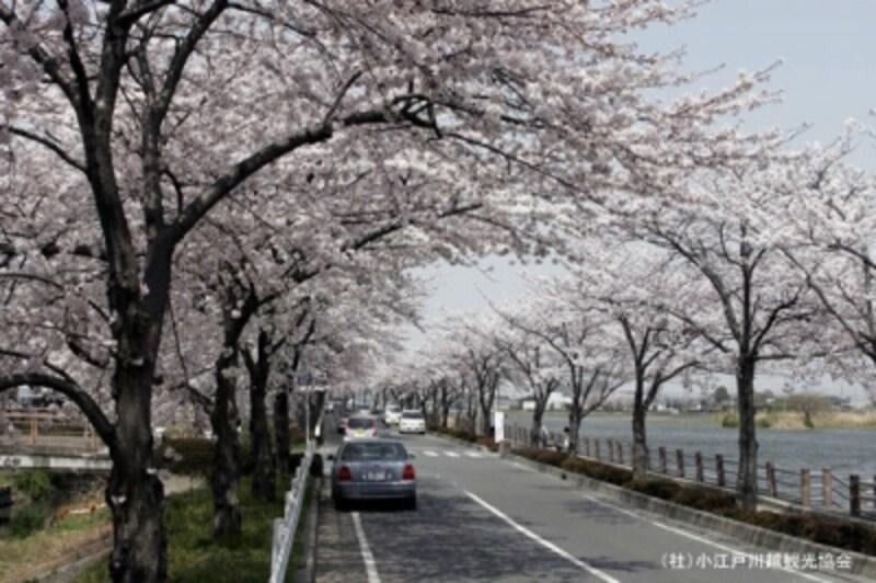 伊佐沼脇の車道の桜並木。