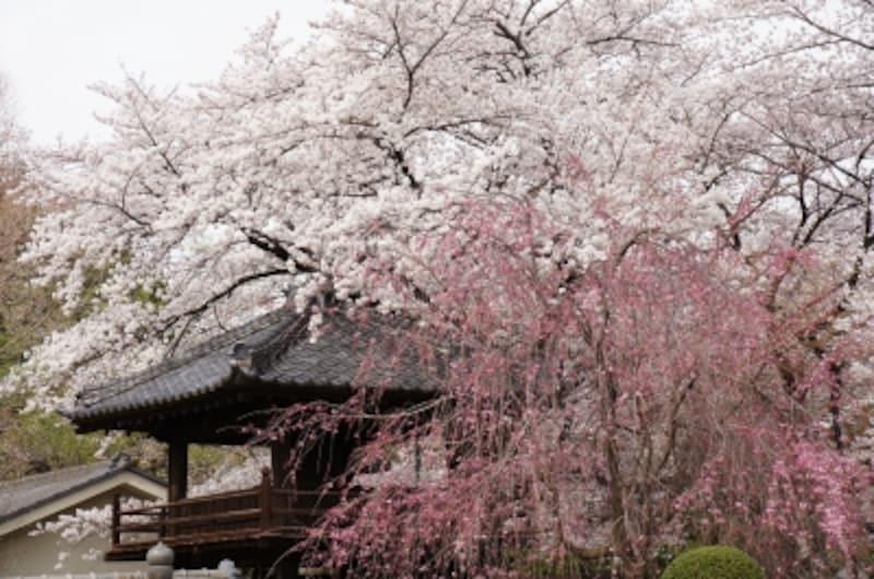 中院の桜。豪華。