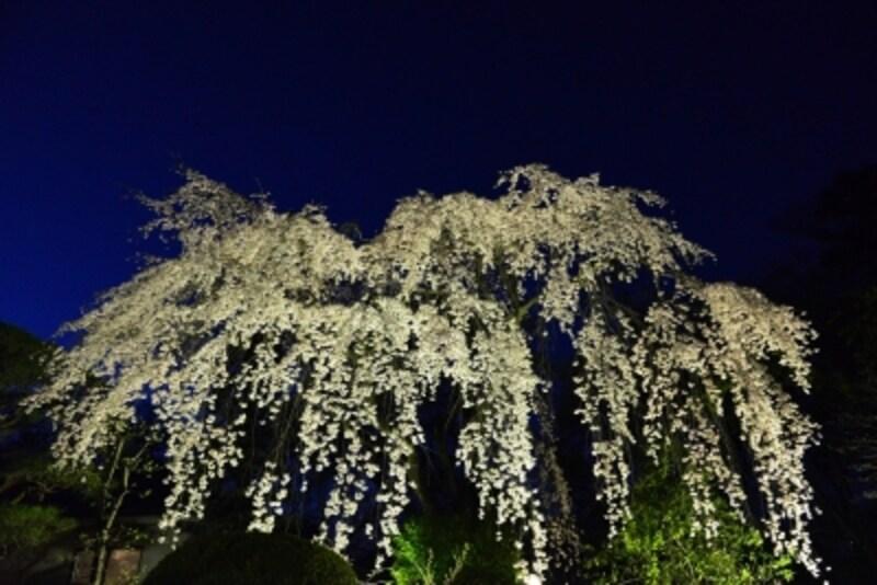 ライトアップされた夜の桜はどこか妖艶です。