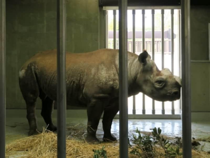 東山動物園(名古屋市)から来たヒガシクロサイ「ニル」。屋外展示場に出るために訓練中