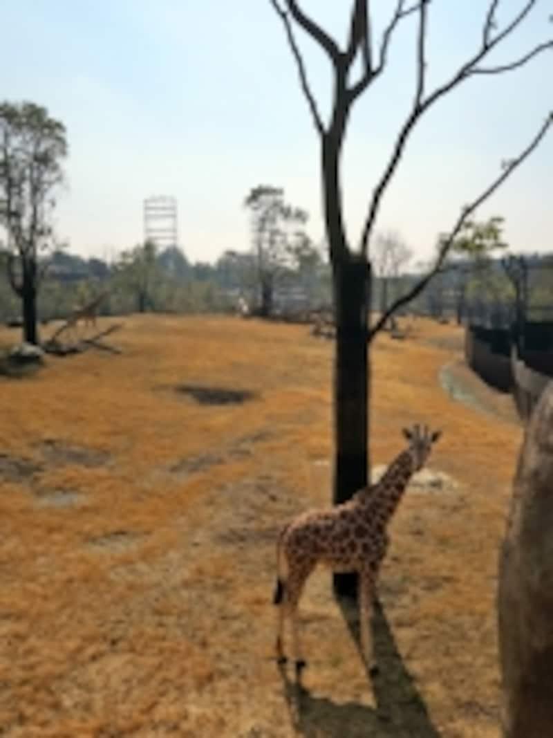 アメリカのグラディス・ポーター動物園から来たキリン「エマ」と「カルメン」