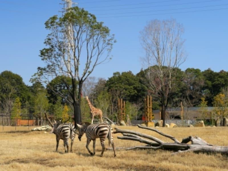 肉食動物と草食動物の4種混合展示が行われる草原エリア
