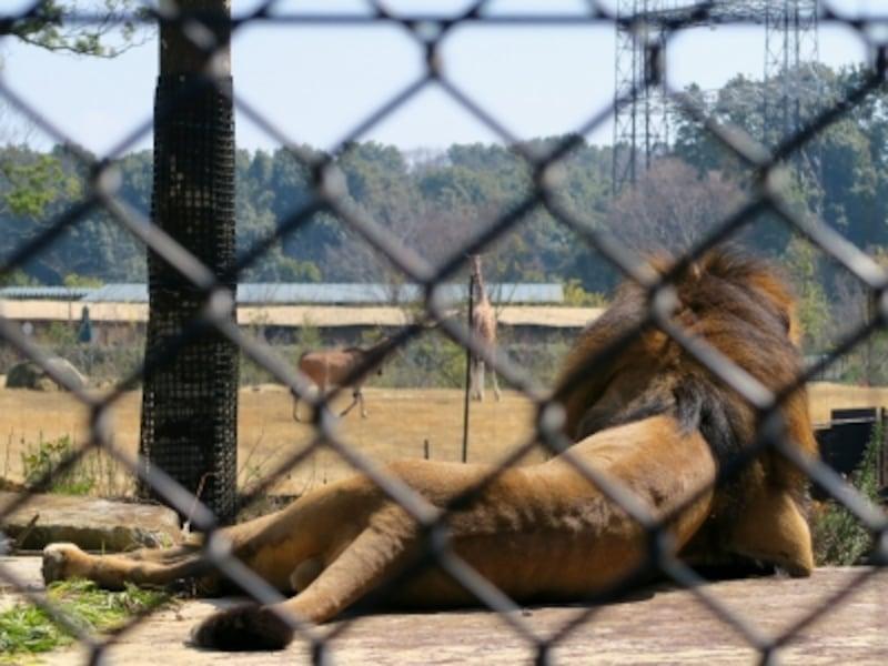 ライオンの展示場からも草原エリアを見渡すことができます