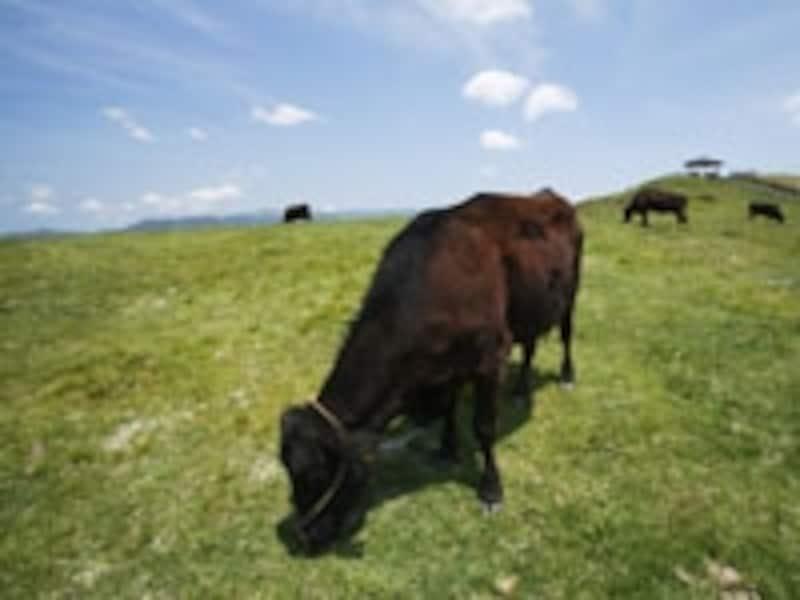 宮崎県は全国3位の肉用牛の産地。口蹄疫の流行は非常にダメージが大きい