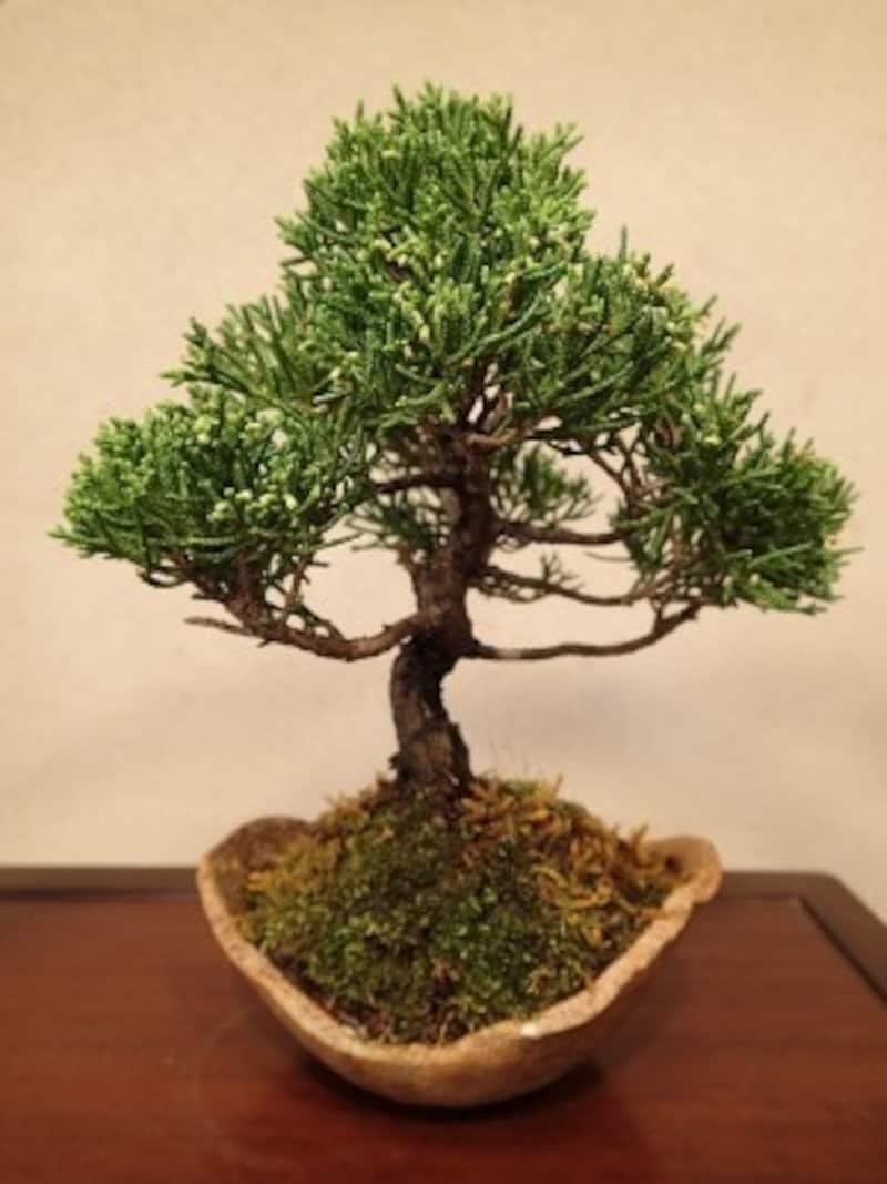 植替え予定の真柏の盆栽