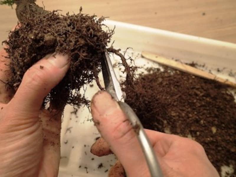 根元に細かい根が多ければ安心して長い根を切れる