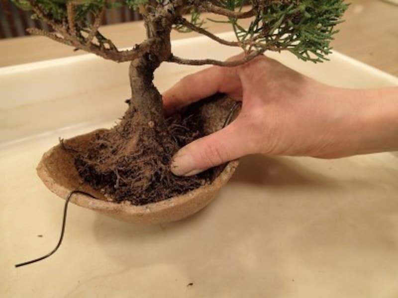 鉢に根鉢を据えて角度の確認