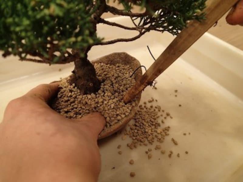 植込み用土を鉢と根の隙間に入れます