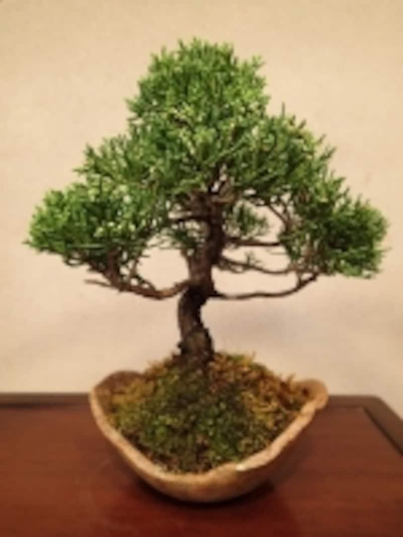 真柏の盆栽