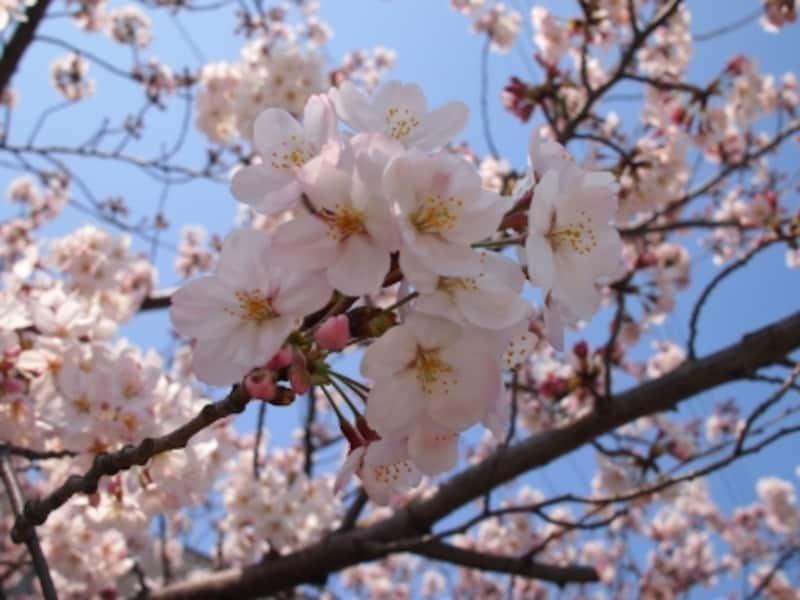 背景が青空だと桜もより美しく見える