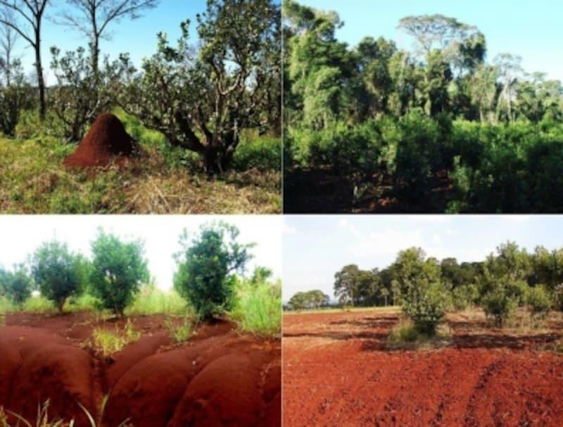 鉄分を多く含むという赤土に育つマテundefined(画像提供:AICHIURUGUAYS.A.)