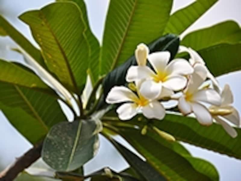 ラオスの国花チャンパー(インドソケイ/プルメリア)