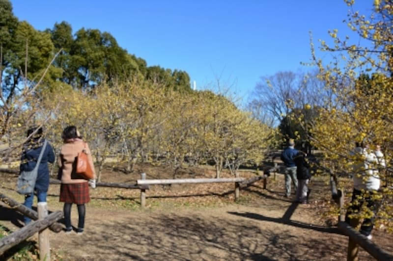 例年1月には黄色の花で包まれるロウバイ園
