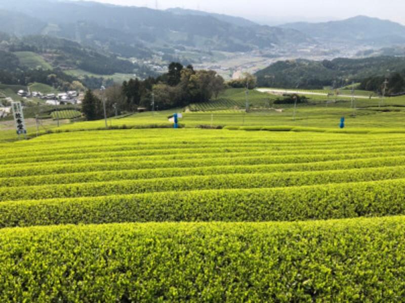 京都府南部の和束町に広がる茶畑
