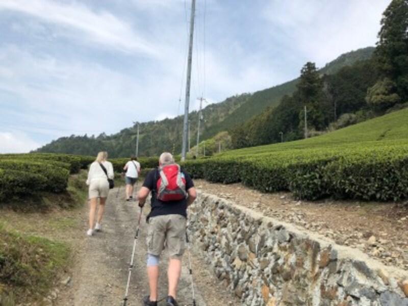 茶畑ハイキング