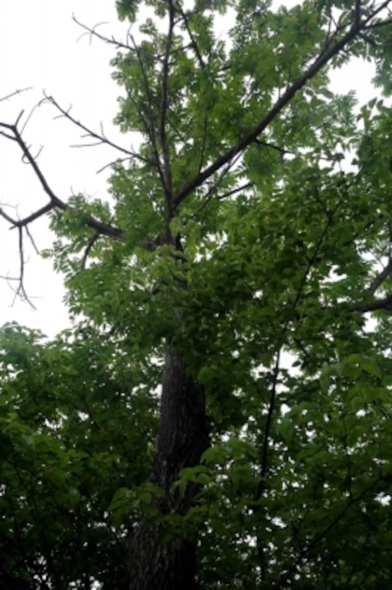 入り口の門の近くには、漆の木が生えていました