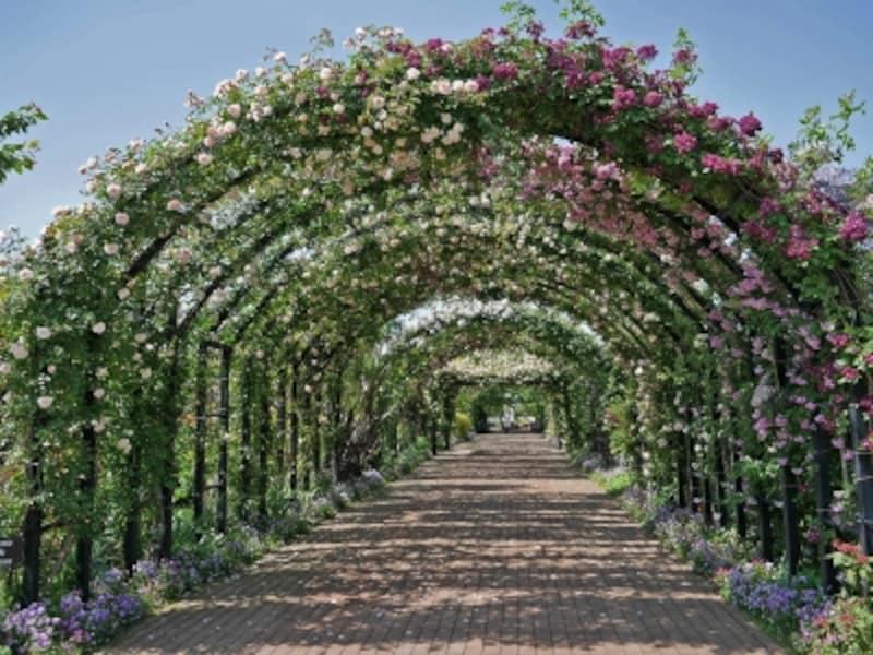 全長約50mのローズアーチ。バラ咲く時期は圧巻(2018年5月11日撮影)