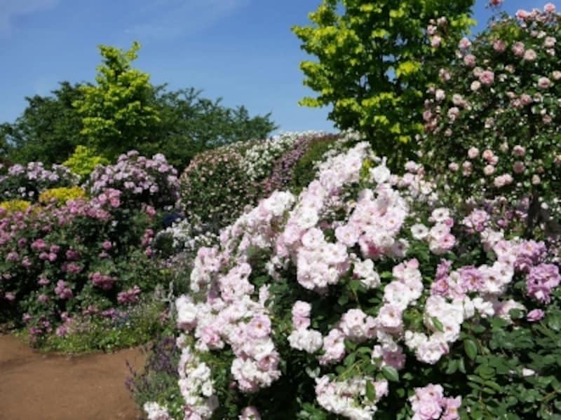 バラとハーブの香りが楽しめる「Rose&HerbGarden~ローズ&ハーブガーデン」(2018年5月11日撮影)