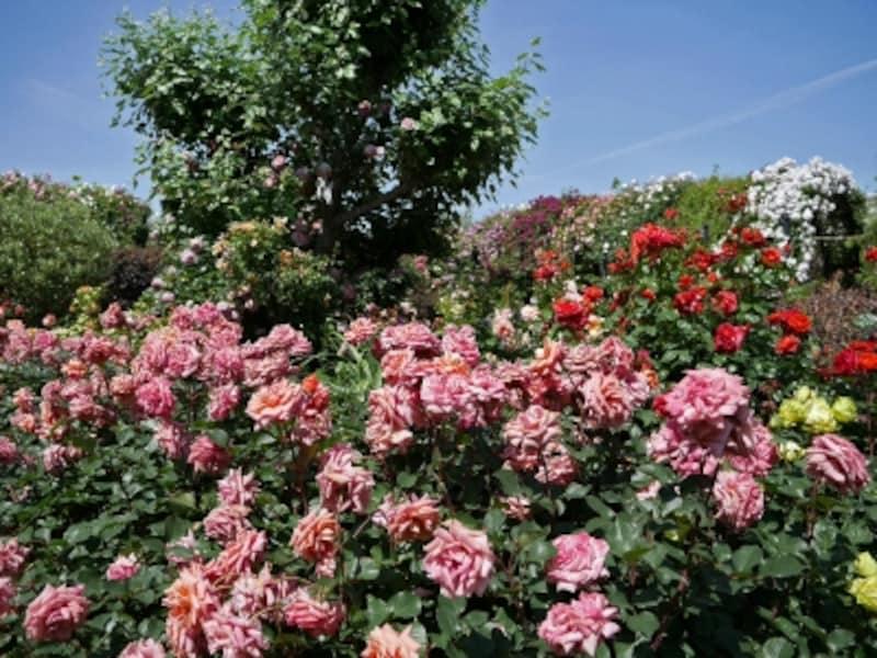 アンティークな印象の「Rose&GrassGarden~ローズ&グラスガーデン」(2018年5月11日撮影)