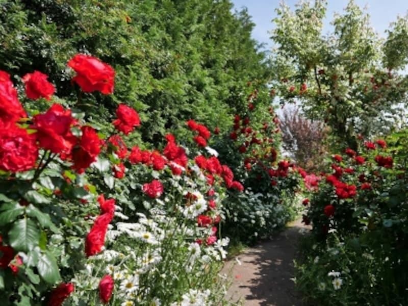 赤いバラを中心とした「ときめきガーデン」。バラ開花期の期間限定公開となります(2018年5月11日撮影)