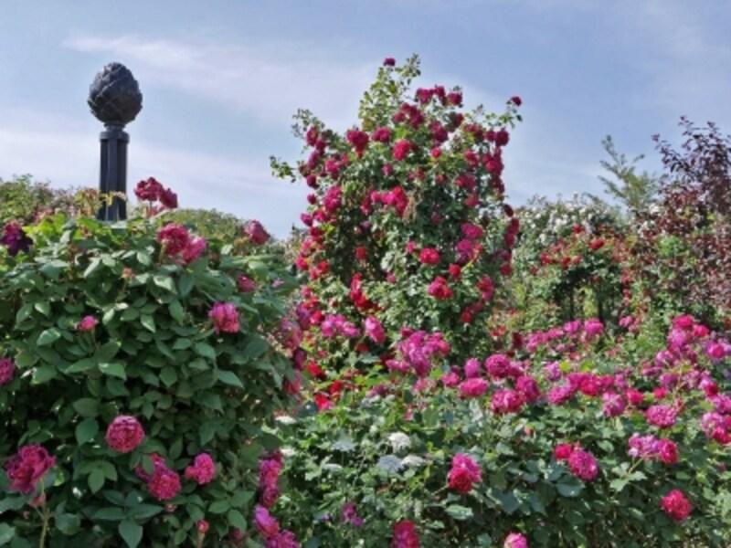 シックな印象の「Rose&ClematisGarden~ローズ&クレマチスガーデン」(2018年5月11日撮影)